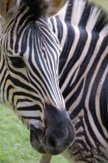 Africa zebra South Africa about Kenya Zebra Equidae Maasai Mara Travel and Tourism