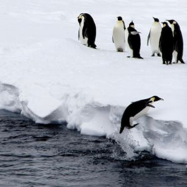 Antarctica penguin Antarctic jump about Penguin Biology