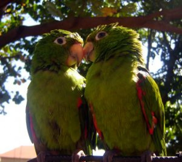 Bird bird Parrot love srb about Pet Parakeet