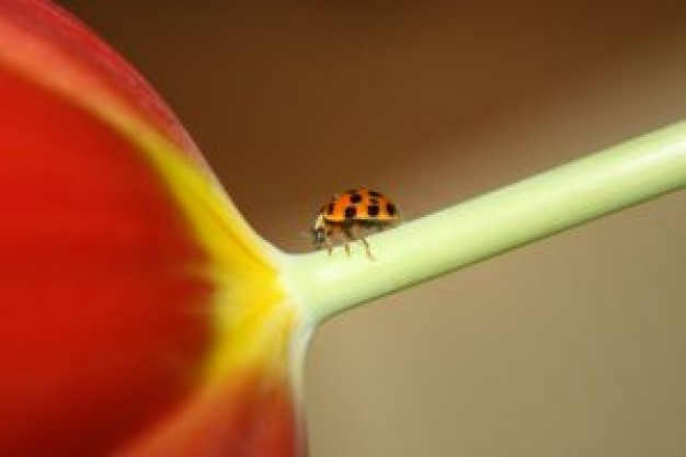 Coccinellidae ladybird United States on tulip 2 about Biology Flora and Fauna