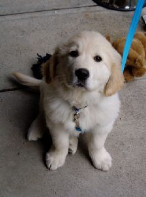 Golden Retriever sam Dogs about Pets Recreation Sporting-Gundog Group Breeds Puppy