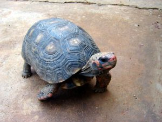 Gurkha red Pet footed tortoise about Recreation Reptiles and Amphibians