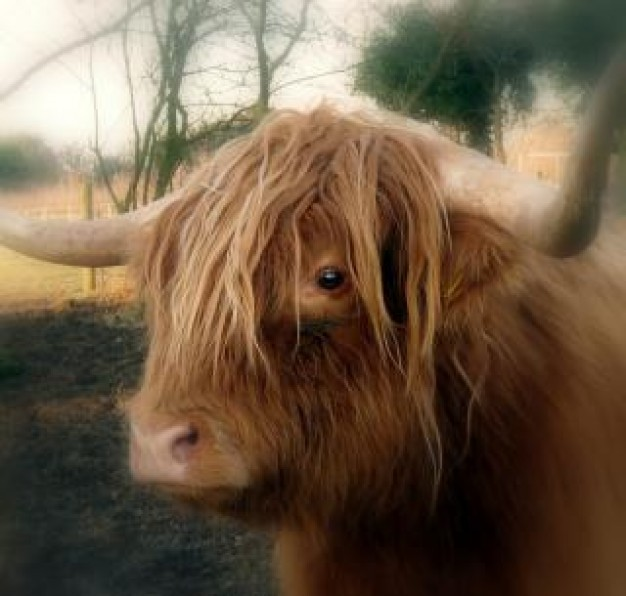 Highland cattle highland Cattle cow animal about Animal Recreation