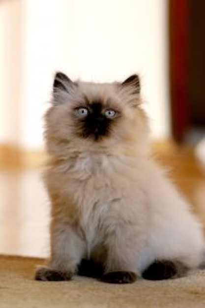 Himalayas persian Cat himalayan about Nepal Persian