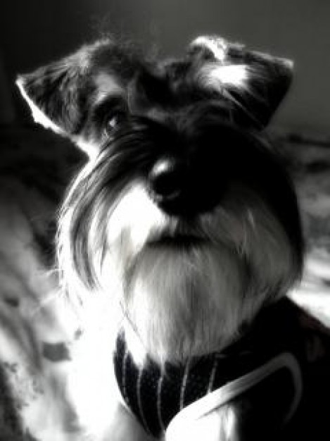 Miniature Schnauzer miniature Dog schnauzer hair animal about Pet Breed