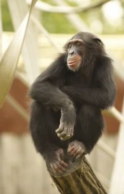 Night monkey chimpanzee Monogamy about University of Pennsylvania Proceedings of the Royal Society P