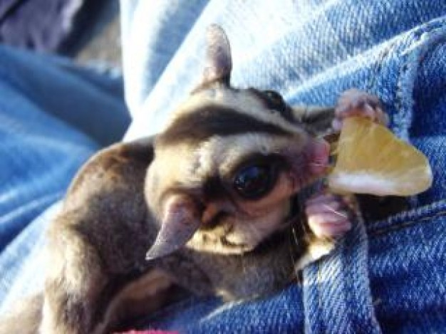 Sugar glider sugar Pet glider eating about Recreation Sugar