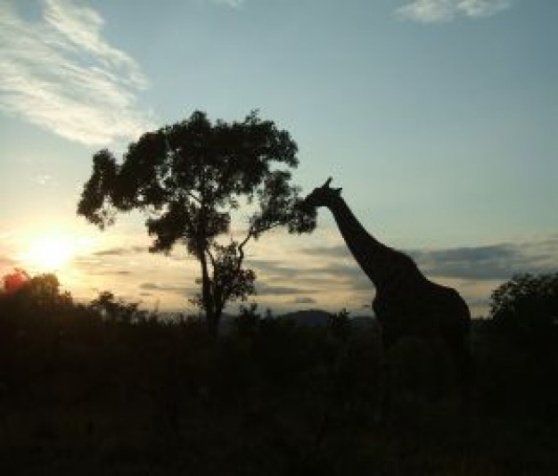 Africa giraffe silhouette sunset about South Africa Travel and Tourism