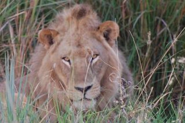 Africa lion International front view for Conservation of Nature predator animal
