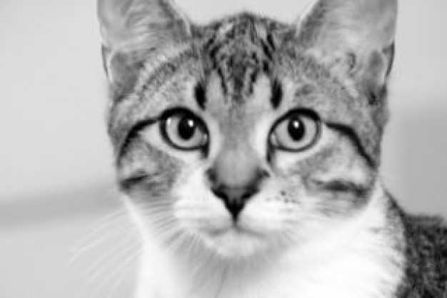 black and white cat Portrait staring about Photography Business