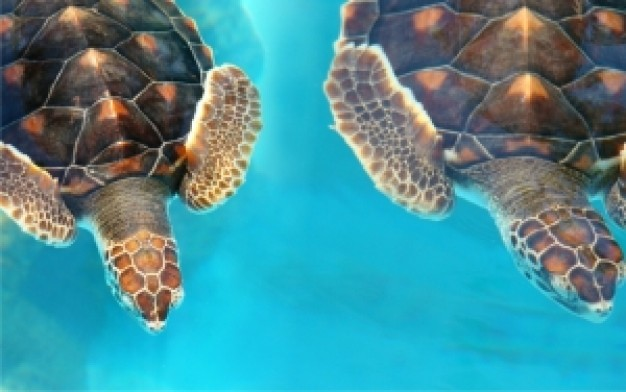 Brazil tartarugas Bahia turtle pair about South America Travel and Tourism Rio de Janeiro Paraty Bea