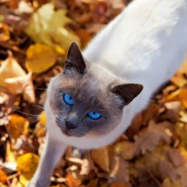 Cat autumn Pets cat soft with agate eyes about Recreation Behavior