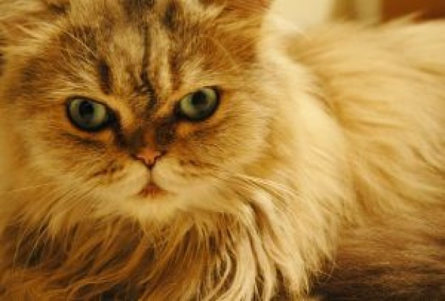 Cat cattexture Recreation about Pets Persian Whisky Persian language