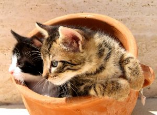 Cat kittens Recreation in a pot pair about Pets Kitten