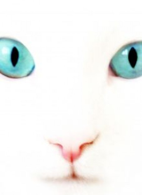 Cat white Pets cat face close-up with blue eyes about Recreation Shopping