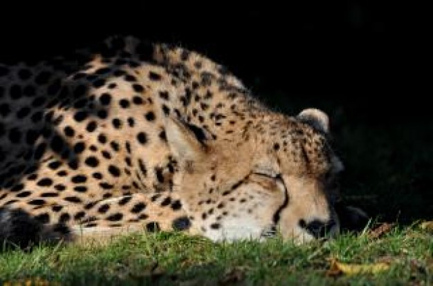 Cheetah sleeping South Africa cheetah about Felidae India
