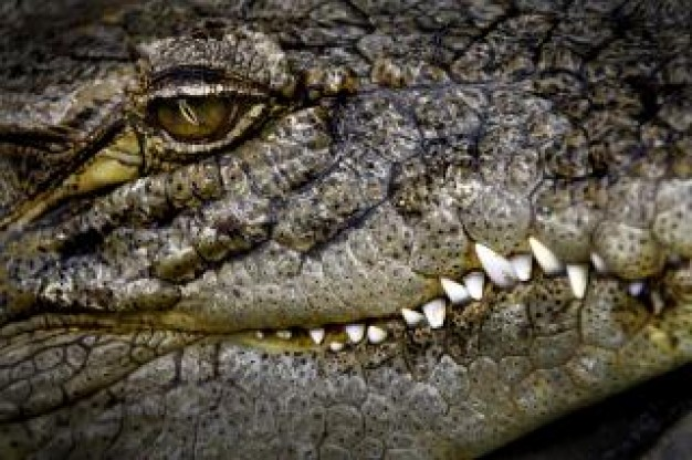 Crocodile Florida eyes close-up about animal Saltwater crocodile