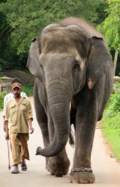 Elephant walking with people African elephant and mahoot about Tusk Asian elephant