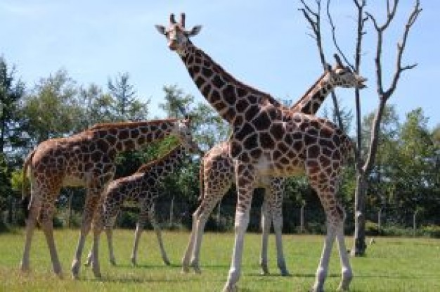 Giraffe Africa about Zoo Biology Lion Mammalia Flora and Fauna