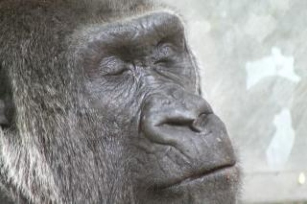Gorilla Primate animal head about Uganda Bwindi Impenetrable Forest