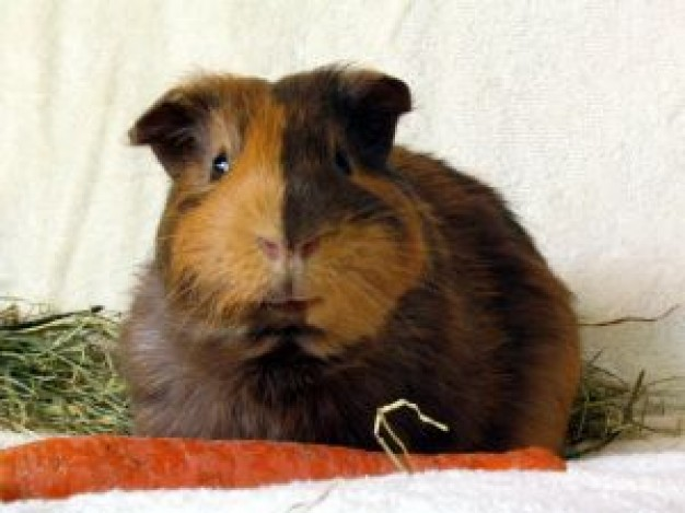 Guinea pig guinea Chiffon cake pig bruno photo about yin-yang  face