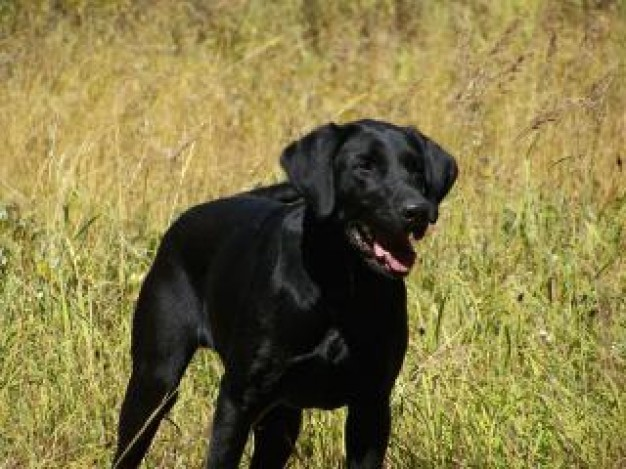 Gurkha my black  Nepal bros lab watching out in grass about Recreation Afghanistan