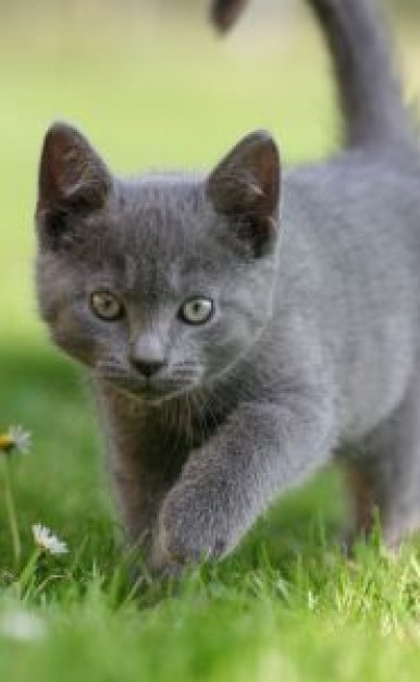 Hunting Cougar kitten front view in grassland about Oregon Kitten