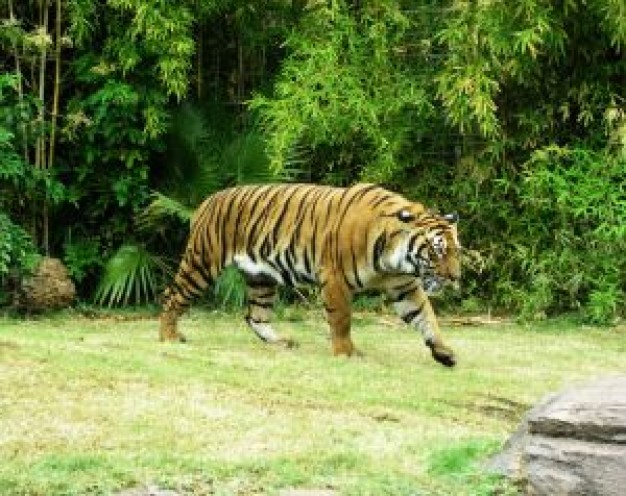 India on Uttar Pradesh the prowl in zoo with green forest about Tiger Uttarakhand