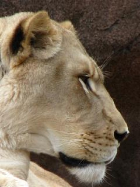 Lion lioness Botswana head close-up in profile about Big cat Home