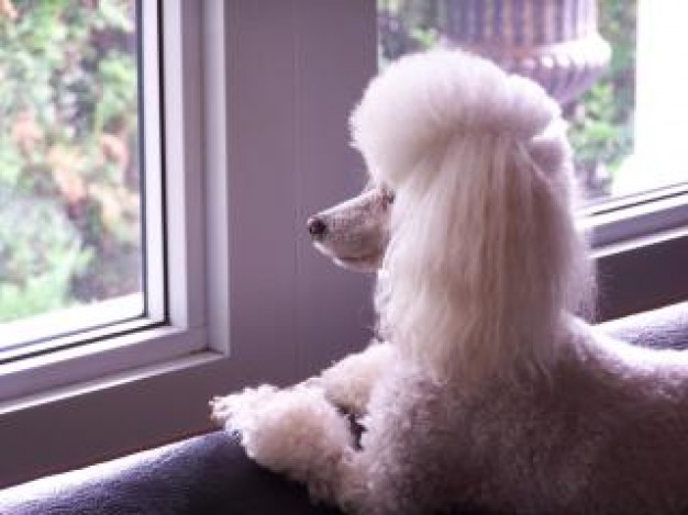 Poodle toy Dog poodle looking to window about Pet Recreation