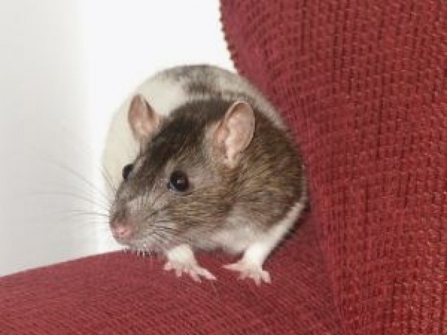 Rodent young Rat female rat about Recreation Pets