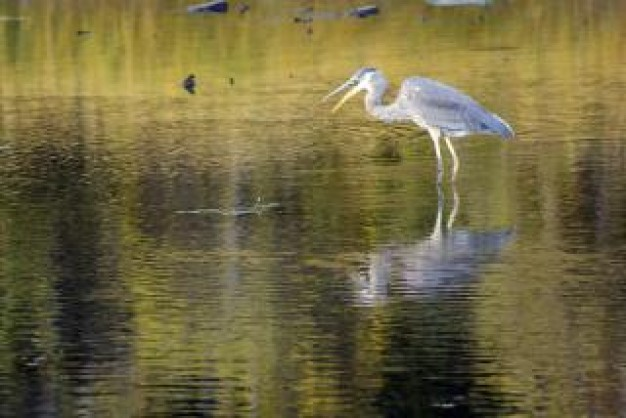 Sandhill Crane Bird in shallow waters about National Audubon Society Great Egret