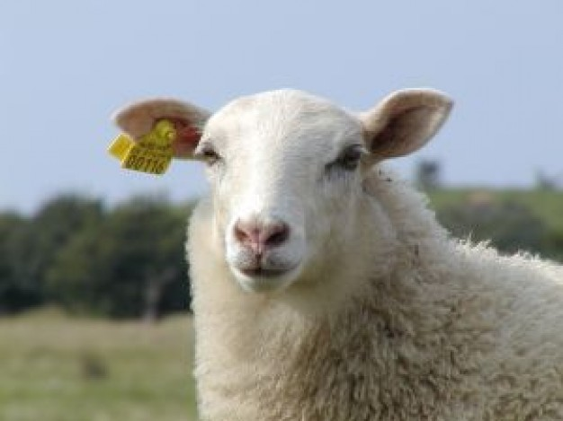 Sheep front view Agriculture and Forestry about Livestock Breeds Associations Management