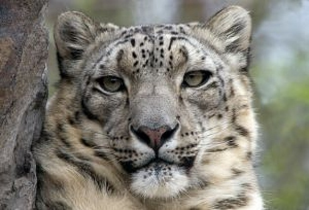 snow Leopard front view about Mammalia Flora and Fauna
