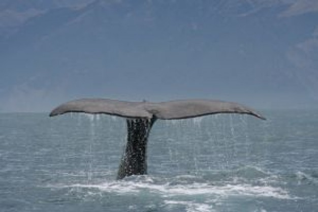 Sperm whale Cetacea tail series about Humpback whale Marine mammal
