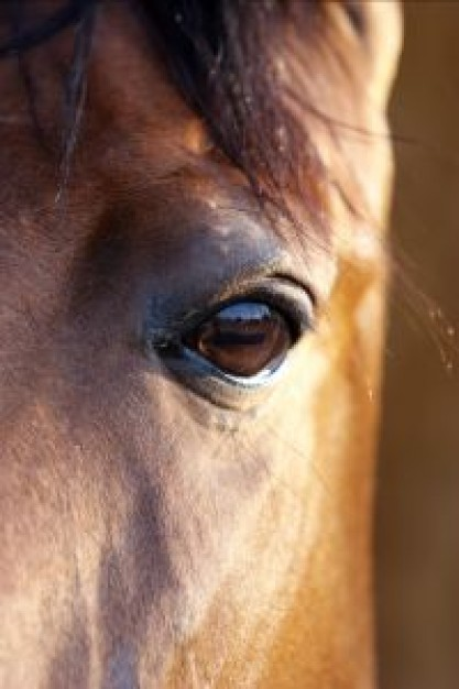 Sports bay Equestrian horses eye about Horse portrait