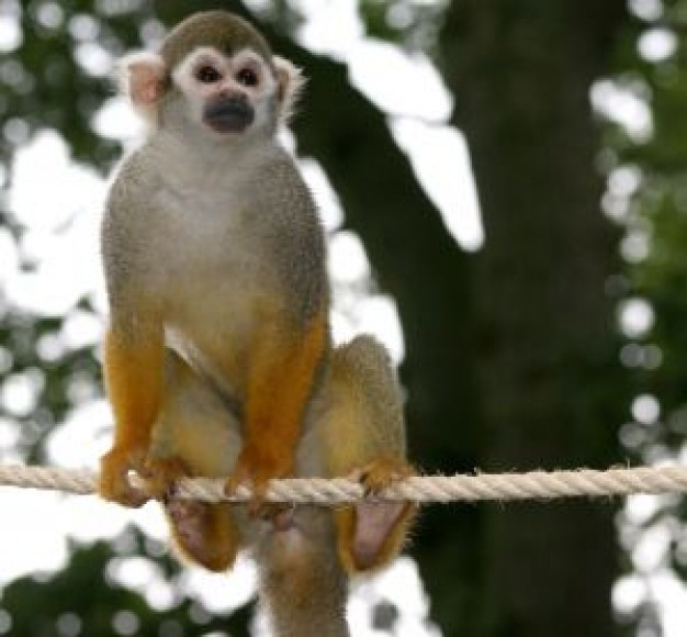 Squirrel monkey Costa Rica monkey about Spider monkey zoo
