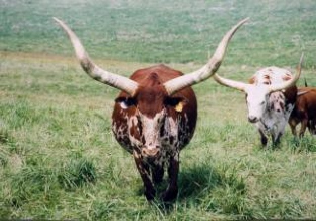 Texas Longhorn Cattle cow about wild grassland