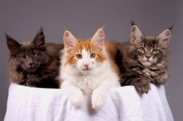 three Cat maine Kitten coons kittens about Pet Maine Coon