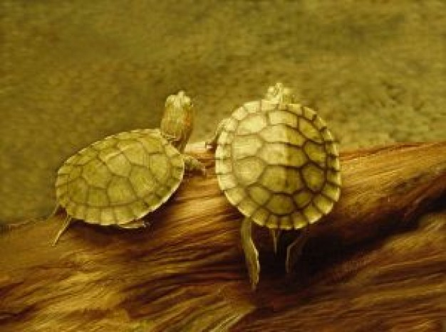 two turtles Biology underwater about Reptilia Flora and Fauna Chordata Animalia Sea turtle