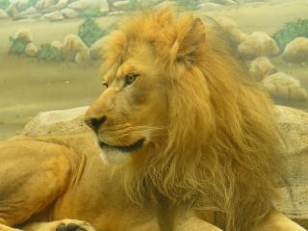 yellow Biology lion animal about Africa zoo