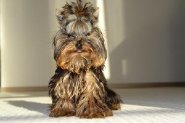 Yorkshire Terrier memo Dog front view about Glade Gurkha British Army Dog grooming Recreation
