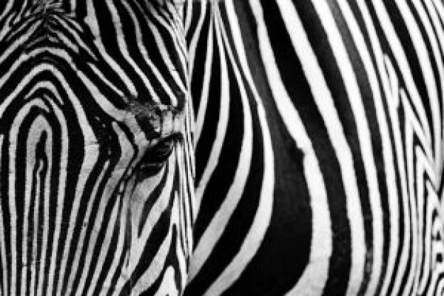 Zebra front view about Africa Kenya Species Equidae Plains zebra