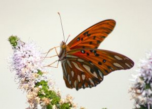 orange butterfly with white spots on a purple flower