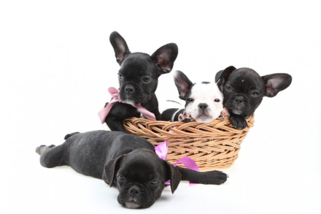 house doggy black dog puppies in basket