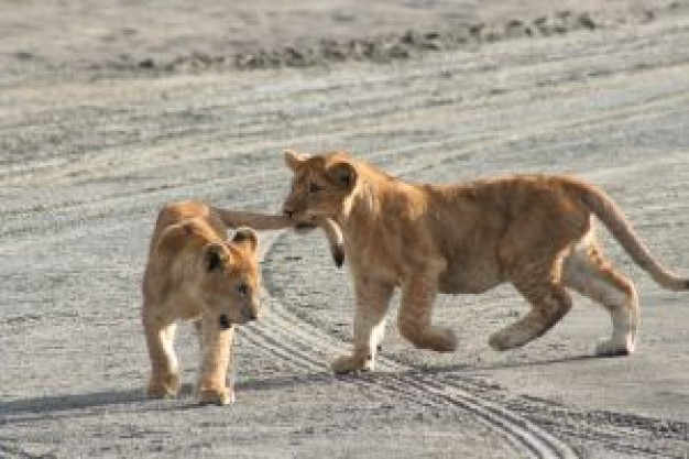 Africa young Felidae lions biting your tails about Panthera Gir Forest National Park