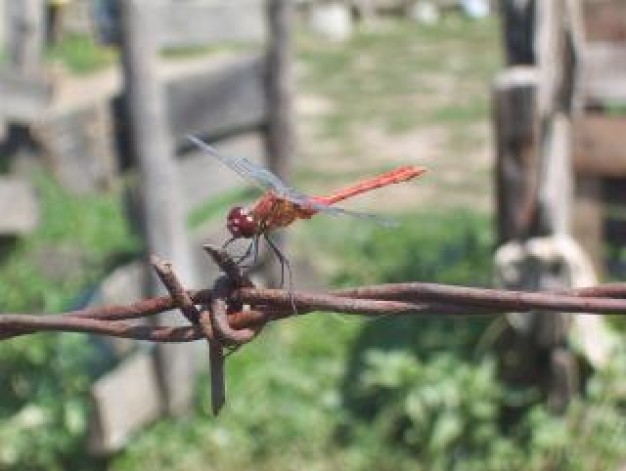 animal dragonfly stopping on Barbwire