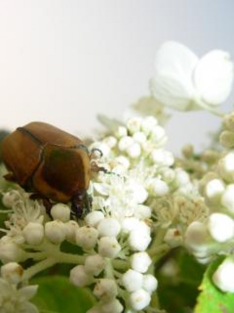 beatle eating a white flower