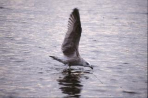 bird hunting food flying on water surface