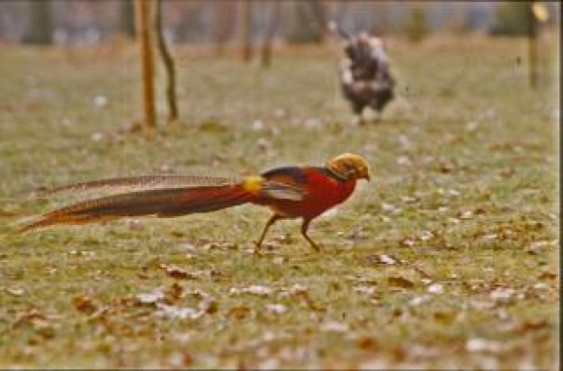 bird with red tail walking at forest floor